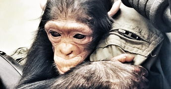 In late February, Belgian aviator Anthony Caere posted a video on social media of him ferrying a baby chimpanzee to the Lwiro Primate Rehab Center in the Democratic Republic of the Congo.